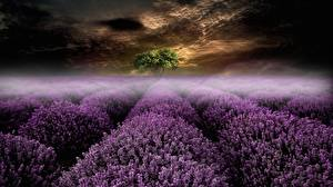 Bakgrundsbilder på skrivbordet Kväll Fält Lavendelsläktet Dimma Natur