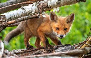 Wallpaper Foxes Cubs Staring Animals