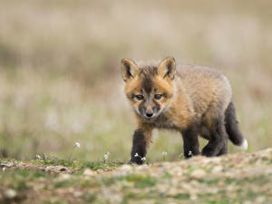 Pictures Foxes Cubs Glance Animals