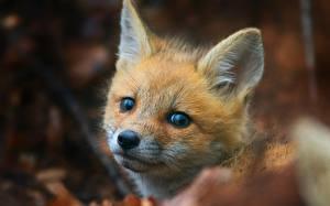 Fotos Füchse Jungtiere Blick Kopf