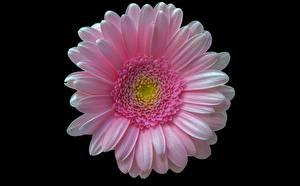 Hintergrundbilder Gerbera Großansicht Rosa Farbe Schwarzer Hintergrund Blumen