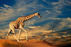 Fotos Giraffe Himmel Tiere