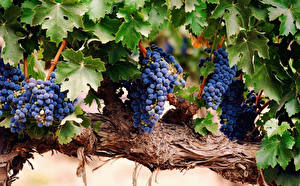 Pictures Grapes Branches Foliage Food