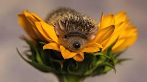 Hintergrundbilder Igel Sonnenblumen Großansicht Tiere