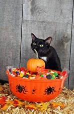 Fotos Feiertage Halloween Katzen Kürbisse Webspinnen Bonbon