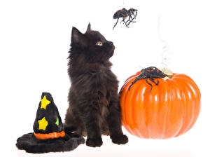 Photo Holidays Halloween Pumpkin Cats Spiders White background Kitty cat Hat Animals