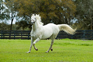 Pictures Horses Grass White Run Animals