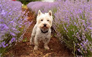 Bakgrundsbilder på skrivbordet Lavendlar Hundar West highland white terrier Djur
