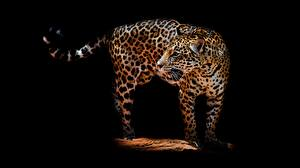 Pictures Leopards Black background Animals