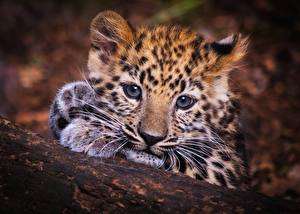 Picture Leopards Cubs Glance Snout