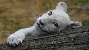 Fotos Löwen Jungtiere Starren Schnauze Weiß