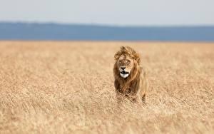 Hintergrundbilder Löwe Gras Tiere