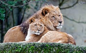 Hintergrundbilder Löwe Löwin Tiere
