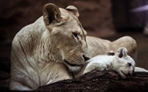 Fotos Löwe Löwin Jungtiere Weiß