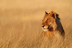 Fotos Löwen Löwin Blick