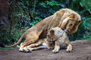 Bilder Löwe Löwin 2