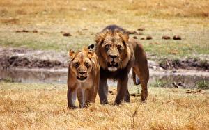 Hintergrundbilder Löwe Löwin 2 Blick