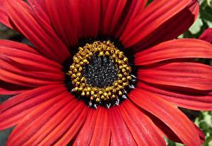 Fotos Makrofotografie Großansicht Rot Blumen