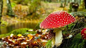 Pictures Mushrooms nature Amanita Closeup