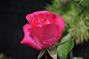 Hintergrundbilder Rosen Großansicht Rosa Farbe Tropfen