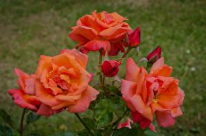 Fotos Rosen Großansicht Rosa Farbe Knospe Blumen