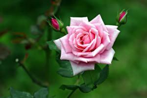 Bilder Rose Nahaufnahme Rosa Farbe Knospe Blumen