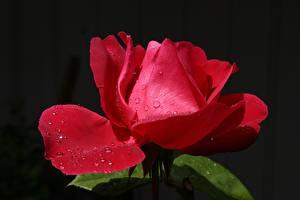 Hintergrundbilder Rosen Großansicht Rot Tropfen