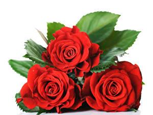 Bilder Rosen Großansicht Weißer hintergrund Drei 3 Rot