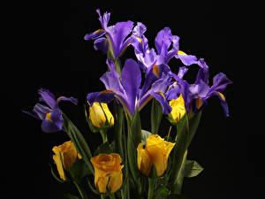 Bilder Rosen Schwertlilien Großansicht Schwarzer Hintergrund Blumen