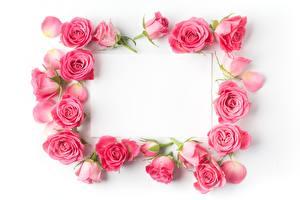 Fotos Rosen Rosa Farbe Vorlage Grußkarte Weißer hintergrund