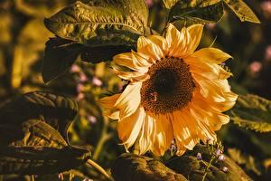 Fotos Sonnenblumen Großansicht Blumen