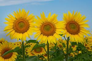 Fotos Sonnenblumen Großansicht Drei 3
