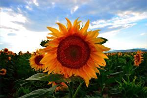 Hintergrundbilder Sonnenblumen Felder Großansicht