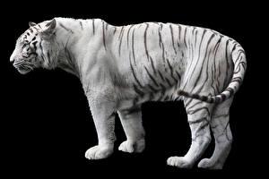 Bilder Tiger Schwarzer Hintergrund Weiß Seitlich Tiere
