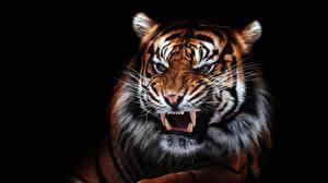 Fotos Tiger Eckzahn Grinsen Schwarzer Hintergrund Schnauze Schnurrhaare Vibrisse ein Tier