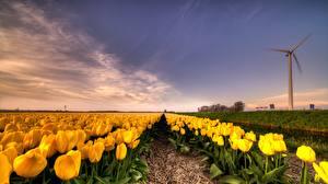 Bilder Tulpen Acker Narzissen Himmel Blüte