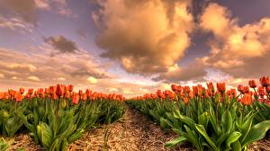 Wallpaper Tulips Fields Orange Flowers