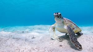 Pictures Turtles Underwater world