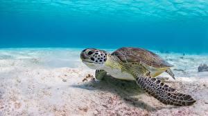 Images Turtles Underwater world animal
