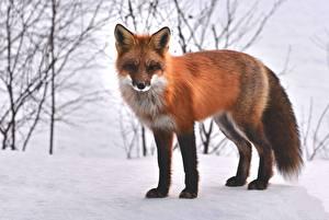 Fotos Winter Füchse Schnee Orange rot Blick