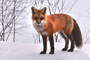 Image Winter Foxes Snow Red orange Glance Animals