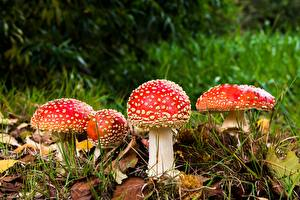 Photo Amanita Mushrooms nature Closeup Autumn Leaf Grass