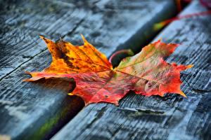 Hintergrundbilder Herbst Nahaufnahme Bretter Blattwerk Ahorn