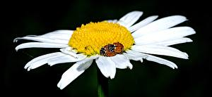 Bilder Marienkäfer Hautnah Kamillen Blütenblätter Blüte