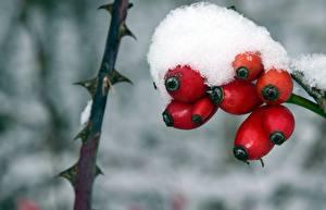 Photo Berry Winter Closeup Snow Rose hip