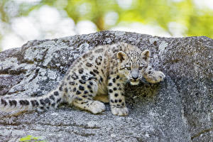 Pictures Big cats Leopards Cubs