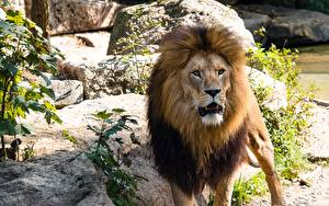 Bilder Große Katze Löwe Blick Tiere