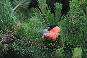 Wallpaper Birds Pyrrhula pyrrhula Closeup Branches Spruce Animals