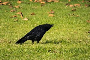 Bilder Vögel Krähe Gras Rasen