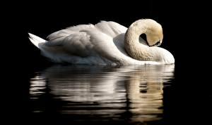 Fotos Vögel Schwäne Schwarzer Hintergrund Spiegelung Spiegelbild Weiß ein Tier